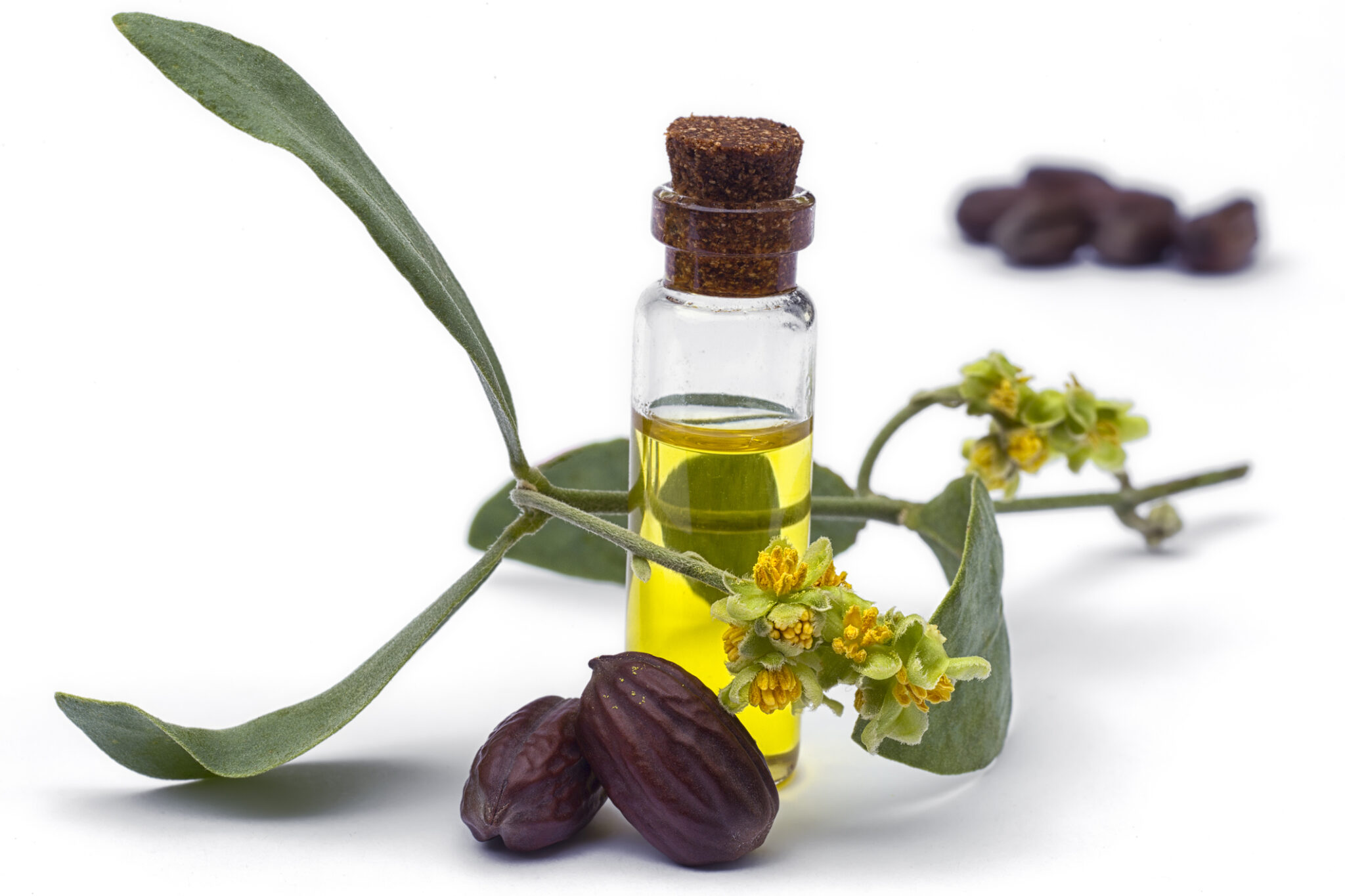 Jojoba oil next to the jojoba plant
