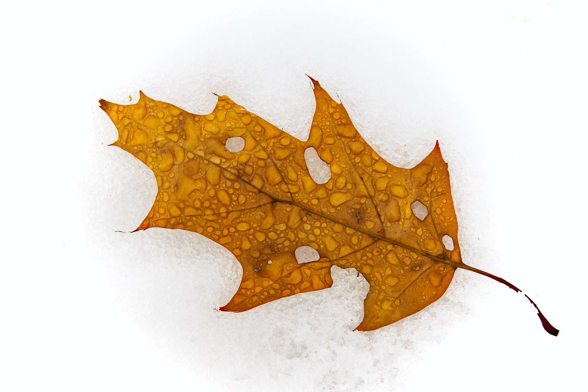 Dry leaf in the snow